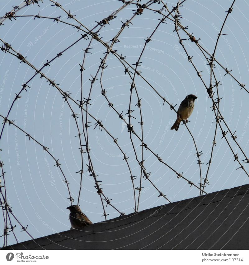 Barbed wire on wall with two sparrows Freedom Aviation Animal Air Sky Airport jail birds 2 Peace Fence Border Barrier Exclude Hiding place Commuter Wire porous