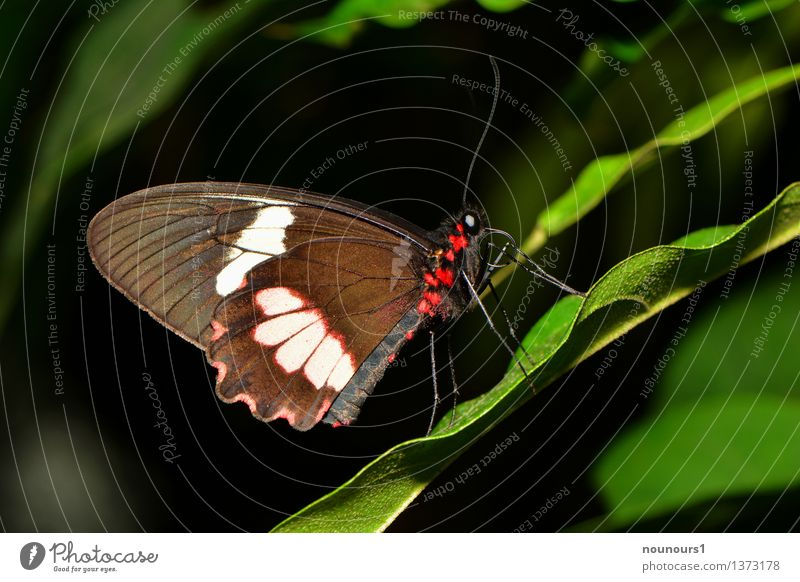 Exotic butterfly ring Animal Plant Leaf Butterfly Wing 1 Crouch Sit Natural Beautiful Red Multicoloured Judder Feeler Proboscis Butterfly house Colour photo