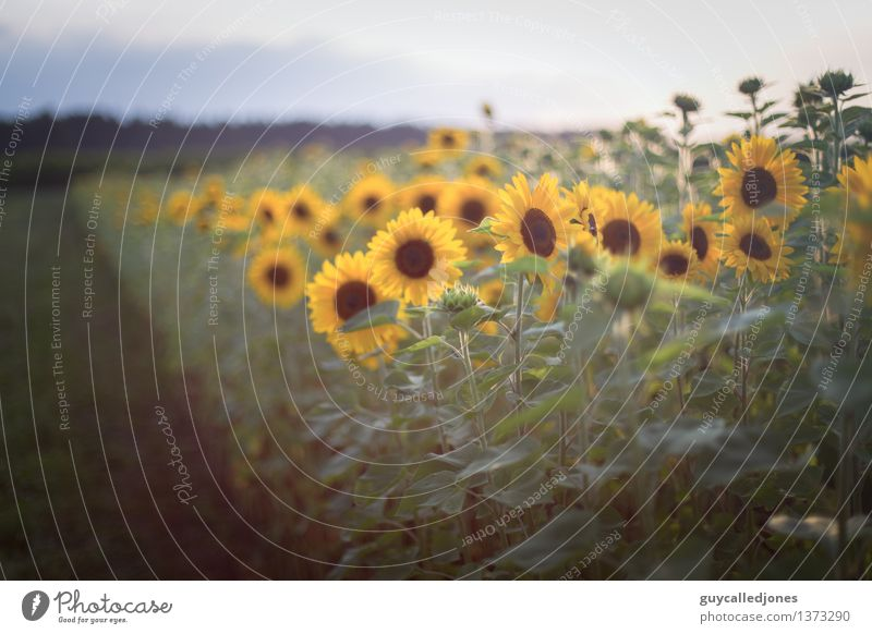 A field full of sun Calm Summer Summer vacation Sun Nature Landscape Beautiful weather Plant Flower Sunflower Meadow Field Green Happy Colour Vacation & Travel