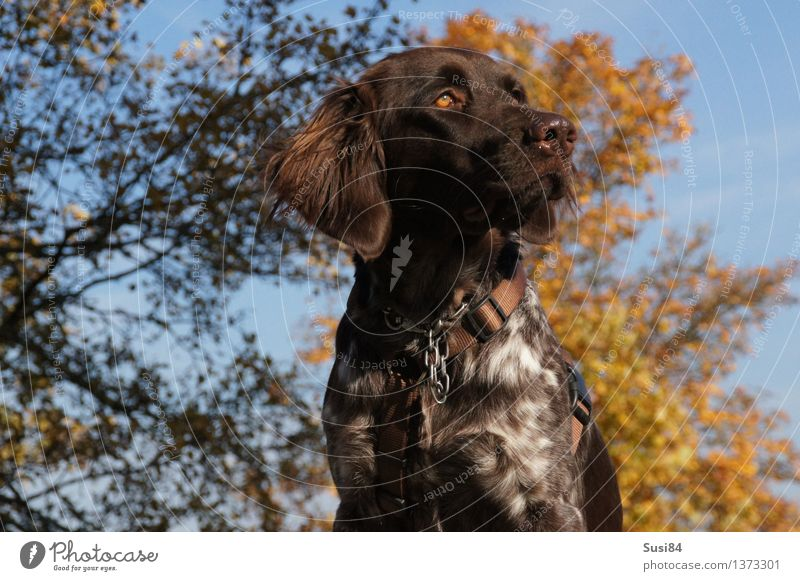 gracefulness Nature Plant Autumn Tree Autumn leaves Deciduous tree Field Animal Pet Dog Hound 1 Looking Elegant Brown Yellow Cool (slang) Willpower Might