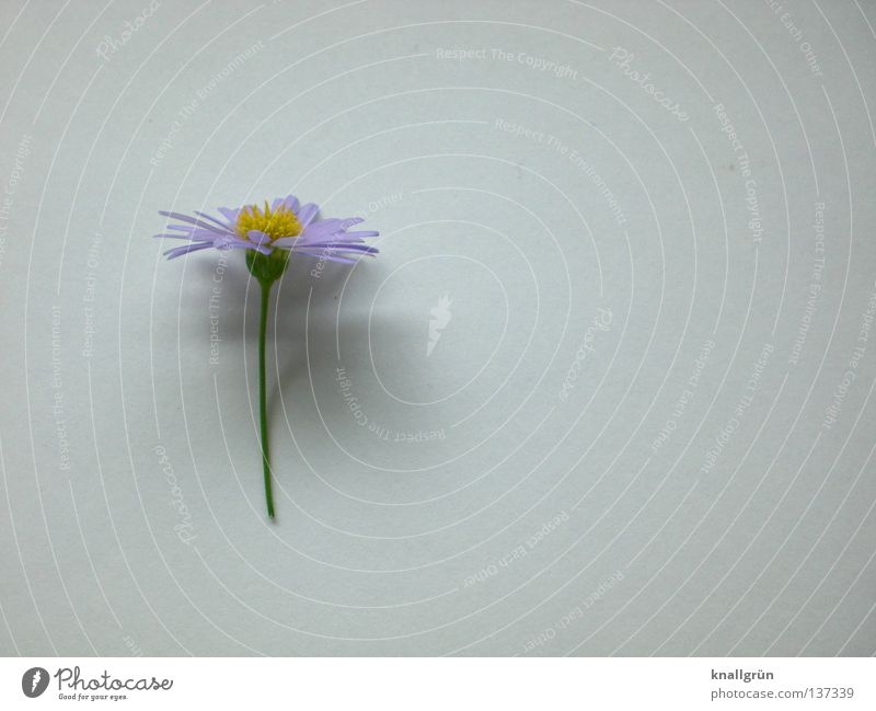 White Flower Green Plant Yellow Bright Violet Daisy