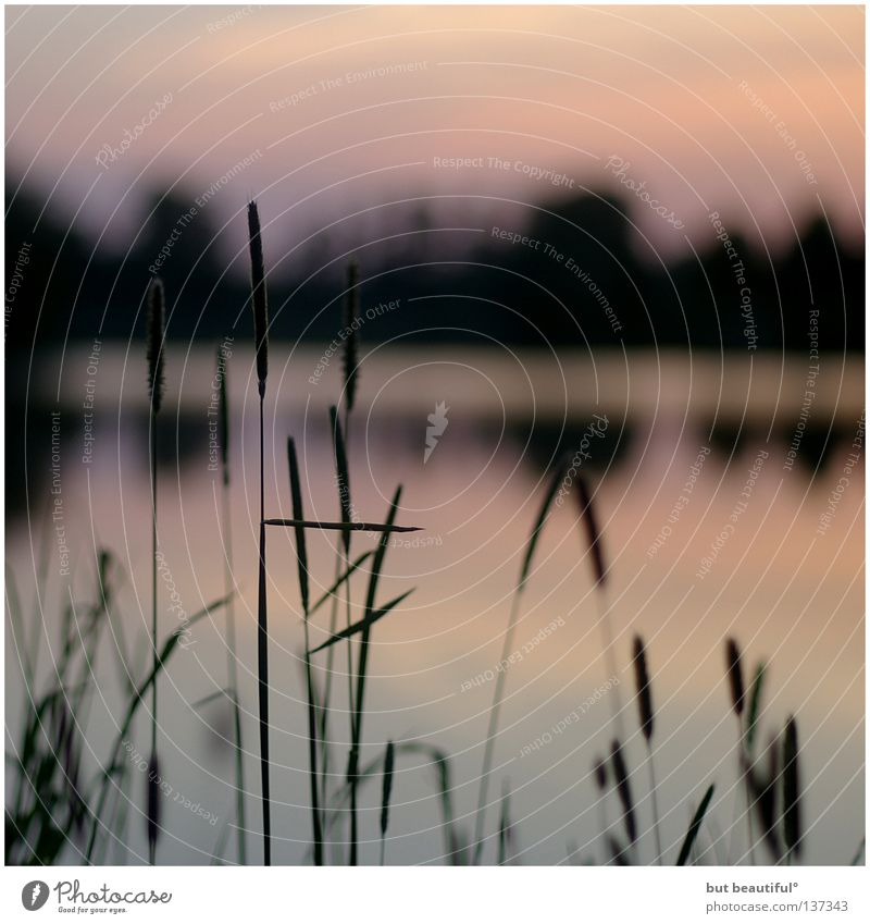 summernights° Evening sun Twilight Lake Summer Summer night Sunset Lake Obersee Common Reed Reflection Colour Warmth