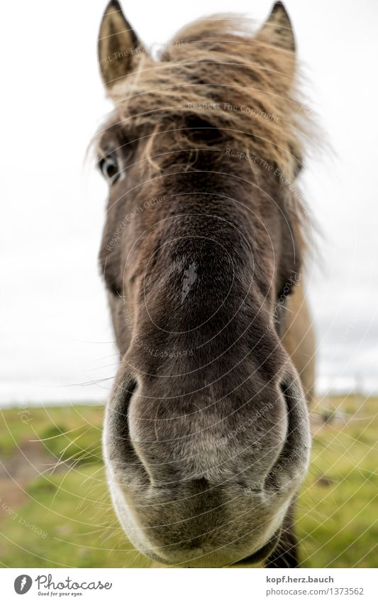 Nose in front Iceland Animal Horse Bangs Iceland Pony Icelander 1 Breathe Kissing Looking Curiosity Cool (slang) Love of animals Interest Nostrils proximity