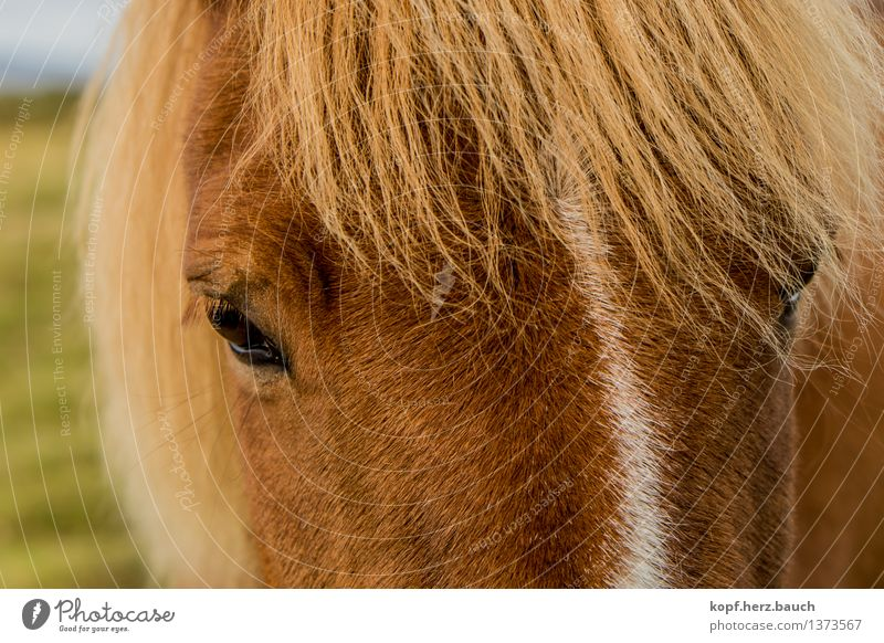 """<font color=""""#ffff00"""">-=I´not=- proudly presents Environment Animal Horse Animal face Iceland Pony Icelander 1 Looking Dream Blonde Beautiful Brown Gold"""
