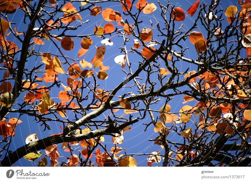 autumn leaves pear tree Nature Plant Autumn Tree Leaf Brown Yellow Gold Orange Treetop Leaf canopy Pear tree Ussuri pear Pyrus ussuriensis Seasons