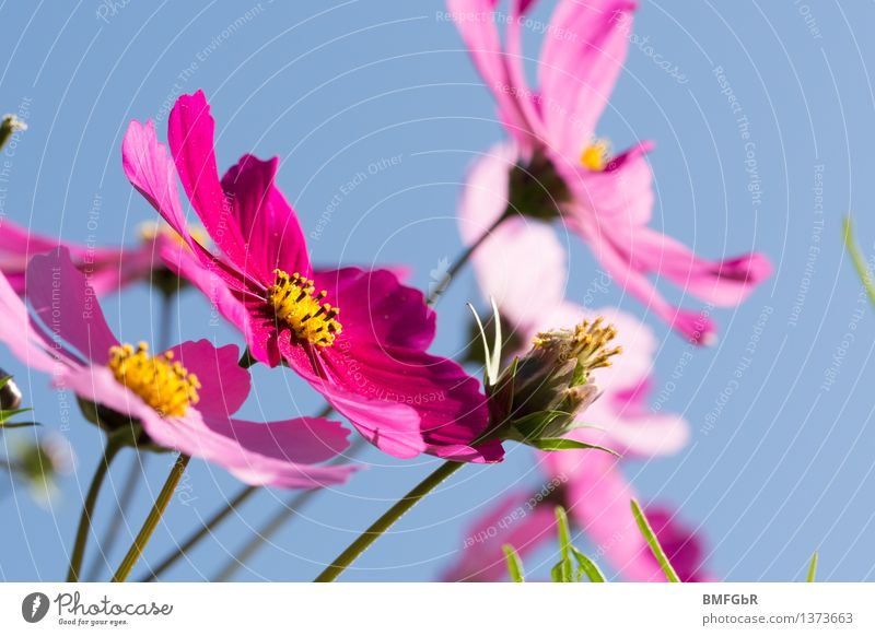 flower dream Nature Plant Air Sky Cloudless sky Beautiful weather Flower Blossom Anemone Esthetic Fragrance Happiness Blue Pink Emotions Spring fever Authentic