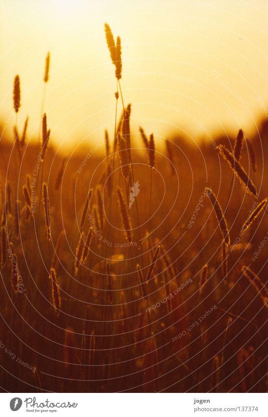 Nature Sun Colour Meadow Grass Moody Field Gold Food Nutrition Agriculture Footpath Grain Farm Grain Cornfield
