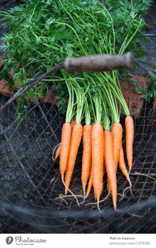 carrots Food Vegetable Nutrition Organic produce Vegetarian diet Slow food Earth Plant Agricultural crop Field Esthetic Authentic Simple Delicious