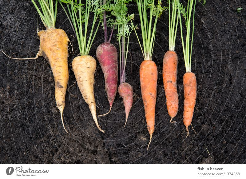 carrots Food Vegetable Nutrition Organic produce Vegetarian diet Slow food Nature Earth Plant Agricultural crop Garden Field Esthetic Exceptional Delicious