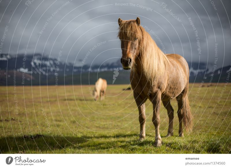 The Icelander Vacation & Travel Tourism Far-off places Freedom Island Mountain Nature Landscape Sky Clouds Climate Weather Snow Grass Meadow Animal Farm animal