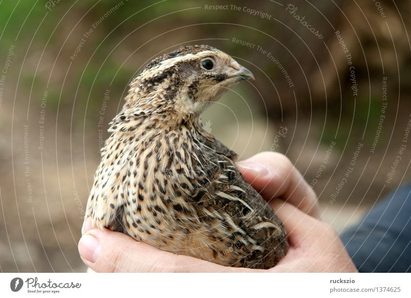 Quail, Coturnix Farm animal Wild animal Bird Touch quails Coturnix coturnix Chicken Bird Egg Quail's egg live stock birds eggs quail eggs house poultry