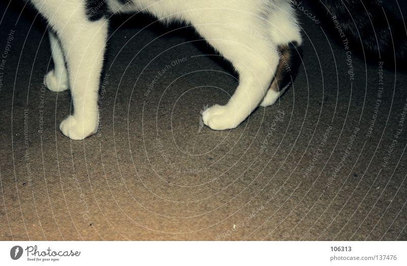 Cat Old White Animal Gray Legs Feet Running sports Animalistic Mammal Domestic cat Carpet Beige Foundations Yellowness