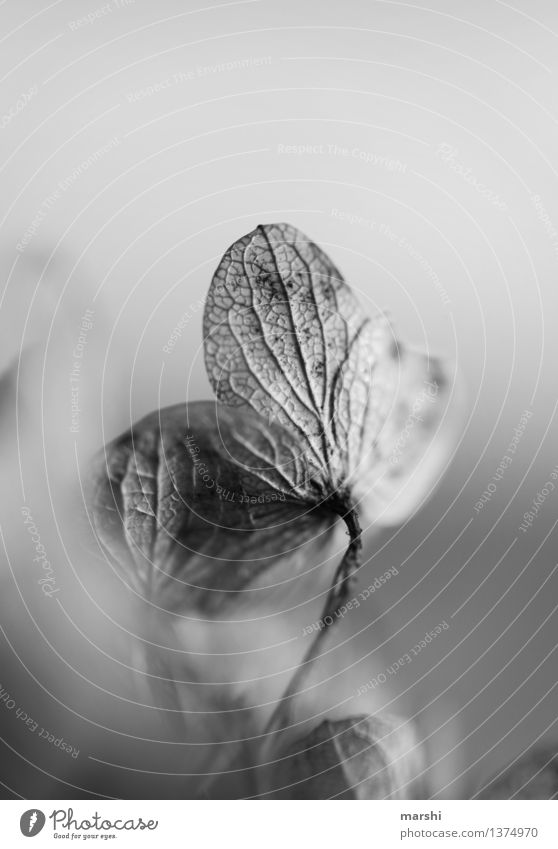withered II Nature Plant Moody Hydrangea Blossom Garden Black & white photo Detail Flower Exterior shot Close-up Macro (Extreme close-up) Blur