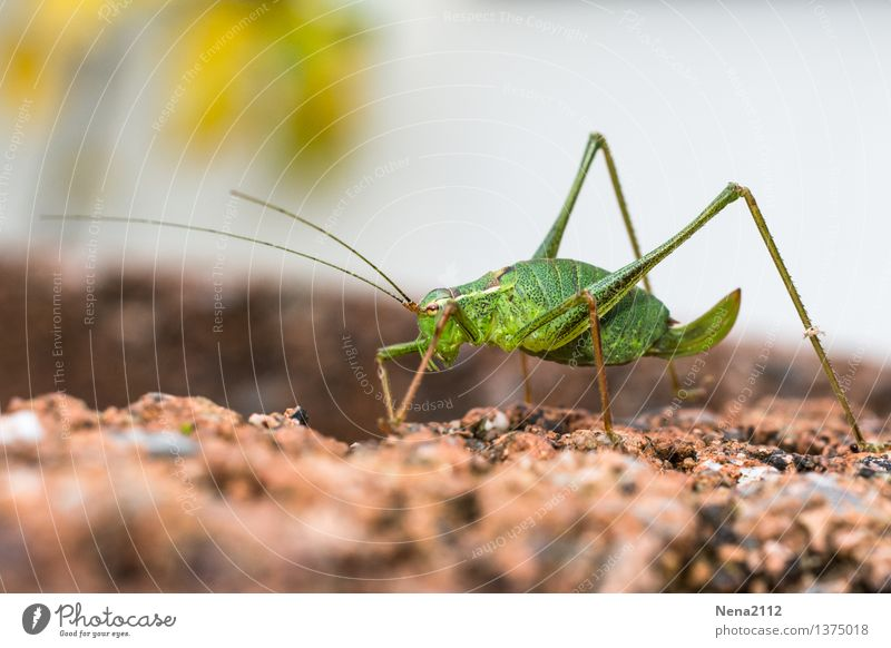 Last walk Environment Nature Animal Beautiful weather Garden Crawl Walking Green Insect Locust Speckled bush-cricket Loneliness Fatigue To go for a walk