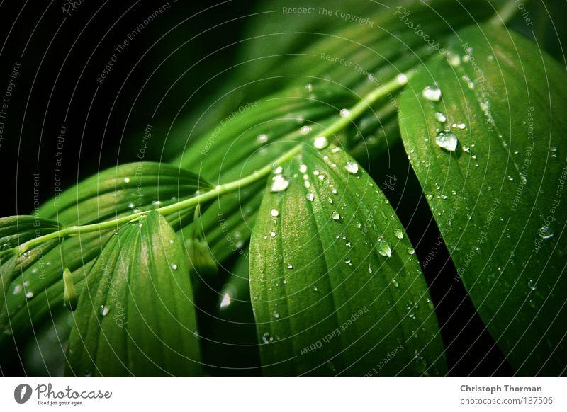 After The Rain Leaf Polygantum multiflorum Solomon's Seal Botany Plant Bushes Biology Environment Green Drops of water Fresh Dew Gale Physics Light