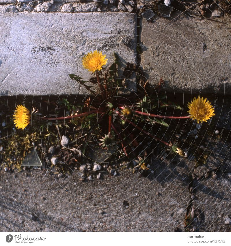 3-band Flower Dandelion Curbside Beautiful Yellow Concrete Everywhere Furrow Shard Edge Wayside Wreath Children's game Meadow Spring Traffic infrastructure