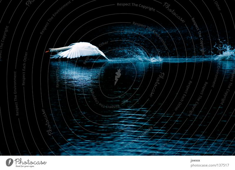 Attack is the best defense Graceful Threat Threaten Beginning Duck birds Feather Wing Curved Body of water Mute swan Might Swan Heavy Gravity Lake Pond