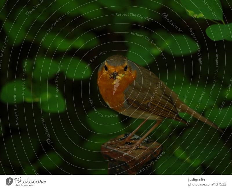 Nature Green Summer Colour Life Park Bird Small Food Environment Beak Feed Worm Robin redbreast Old World flycatcher