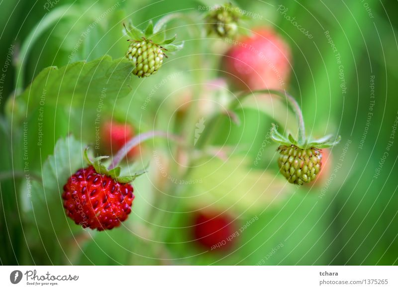 Strawberry Nature Plant Green Colour Summer White Flower Red Leaf Blossom Natural Small Garden Fruit Wild Fresh