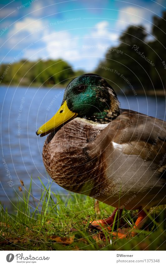 duck Lifestyle Environment Nature Animal Water Weather Beautiful weather Grass Park Meadow Coast Lakeside River bank Pond Wild animal Duck Drake 1 Sit Natural