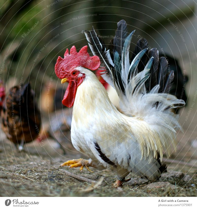 King of the Roost Animal Farm animal Rooster Group of animals Going Walking Pride Multicoloured Masculine Barn fowl Agriculture Poultry farm Happy Free-roaming