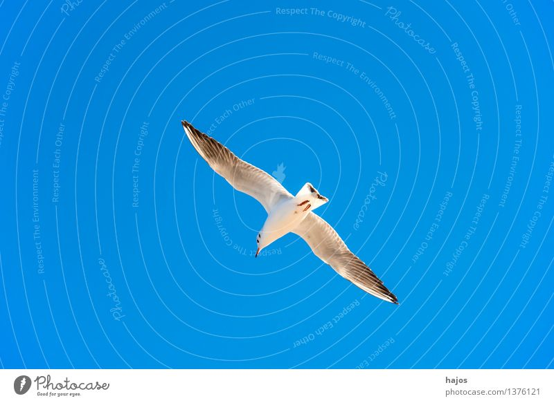Black-headed Gull in flight Animal Baltic Sea Wild animal Bird 1 Flying Maritime Blue Black-headed gull  Seagull Sky Individual stack at court tingly scoop
