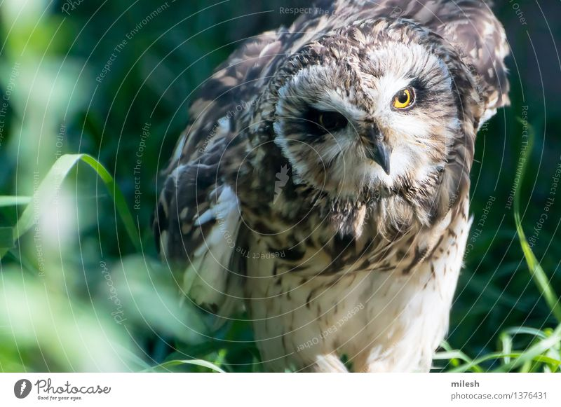 Short-Eared Owl Nature Animal Yellow Natural Gray Bird Feather Sit Wing Observe Animal face Zoo Beak Wisdom Hunter Bird of prey
