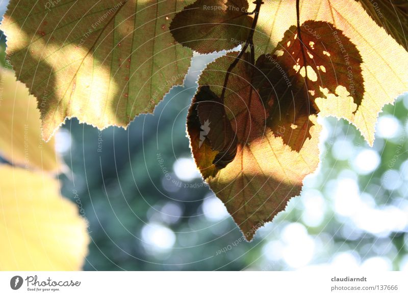 shadow cinema Leaf Deciduous tree Green Beech tree Copper beech Silhouette Summer evening Lighting X-rayed Transparent Pests Perforated Shadow silouette Idyll