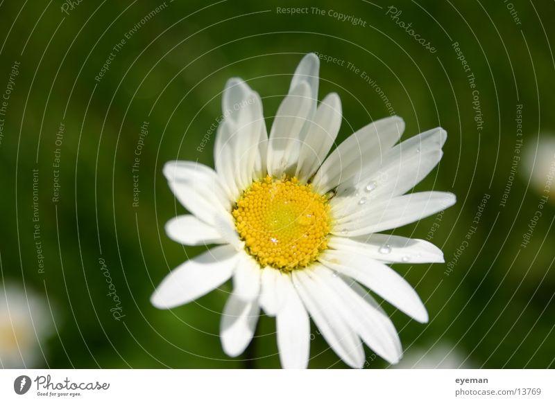 White Flower Yellow Rope Marguerite