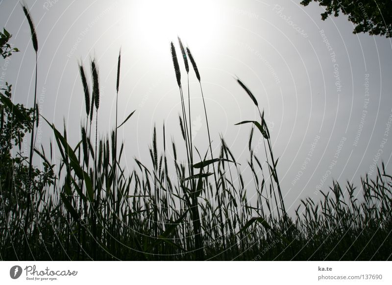 Sky Plant Sun Field Food Growth Nutrition Agriculture Grain Grain Harvest Mature Agriculture Wheat Ear of corn Sowing