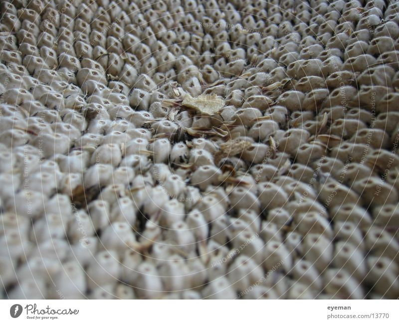 Dry Beige Seed Sunflower seed