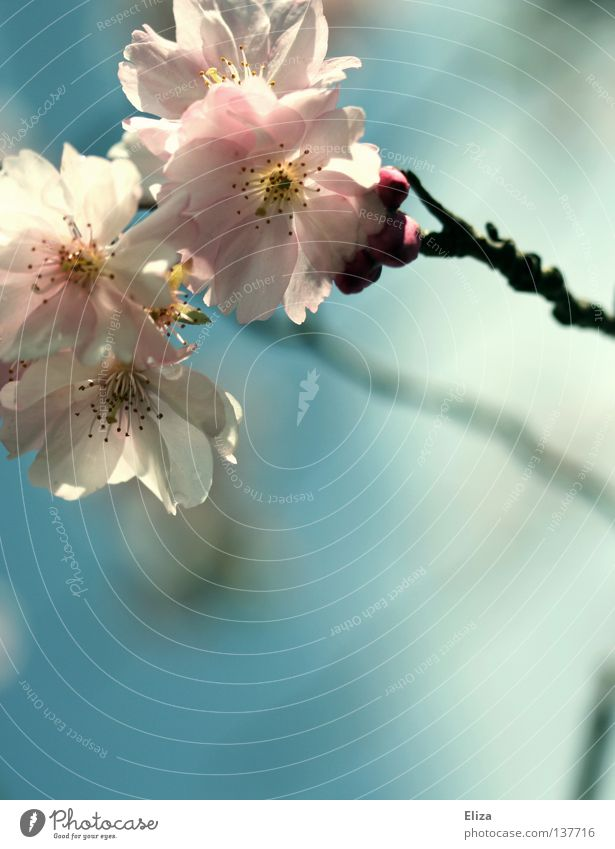 apple blossoms Pink Spring Delicious Fresh Delicate Blossom Flower Fertile Summer Dream Blossoming Fragrance Sky Blue Twig Beautiful Smooth Blur