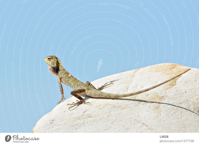 Look at that! V Nature Animal Wild animal 1 Blue Sky Lizards Saurians Sunbathing Scales Looking Observe Break Colour photo Exterior shot Detail Copy Space left