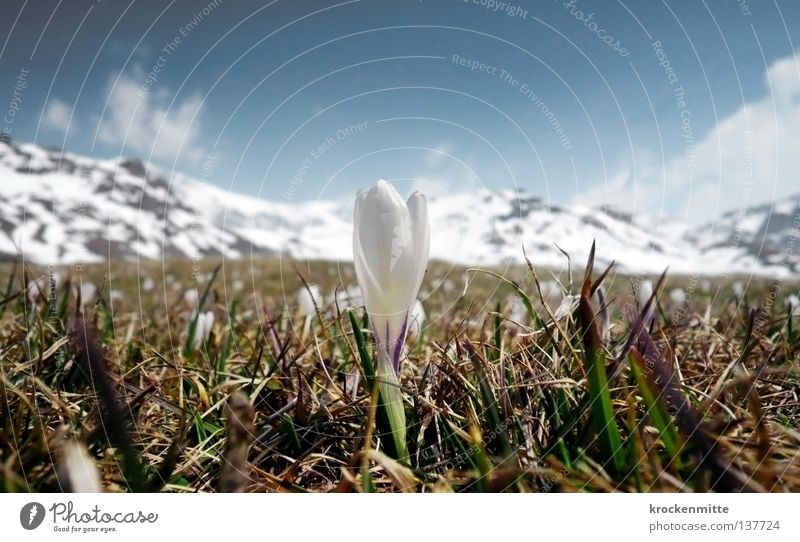 alpine spring Crocus Spring Wake up Canton Graubünden Alp Flix Switzerland Green Meadow Growth White Flower Plant Sprout Blossom Fresh Mountain meadow Jump