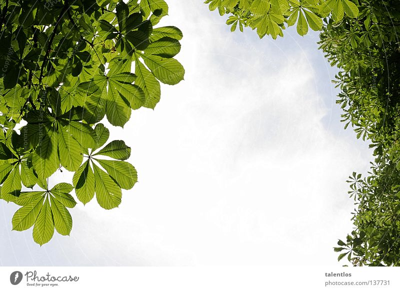 greenish probably Tree Leaf Fresh Summer Spring Clouds Green Vantage point Sky Jump Blue Above Chestnut tree