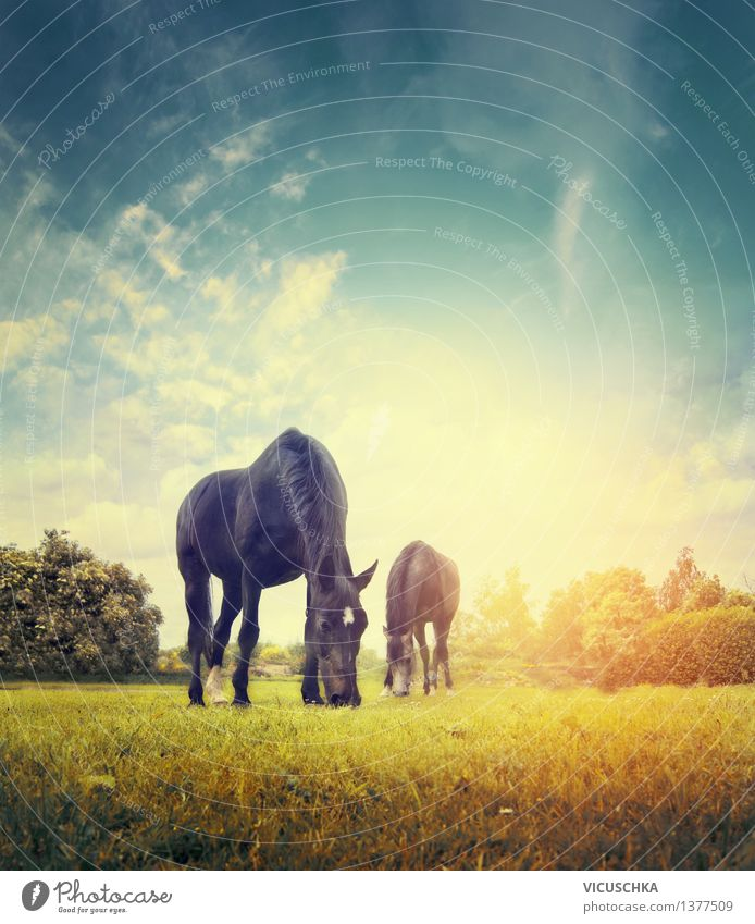 Horses graze on autumn meadow Lifestyle Summer Nature Sky Sunrise Sunset Autumn Meadow Animal 2 Group of animals Yellow Design Background picture Pasture