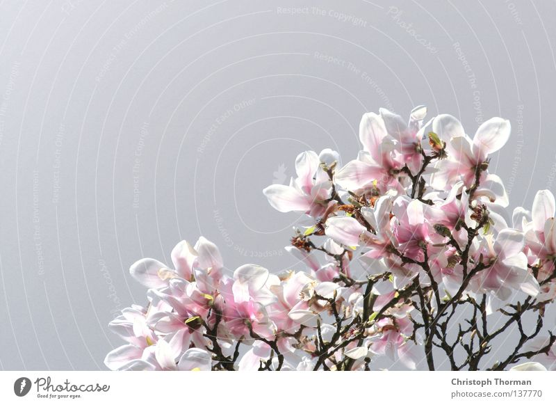Magnolias made of steel Magnolia plants Blossom Plant Botany Magnolia tree Tree Branched Pink White Gray Growth Maturing time Flourish Spring Beautiful Twig