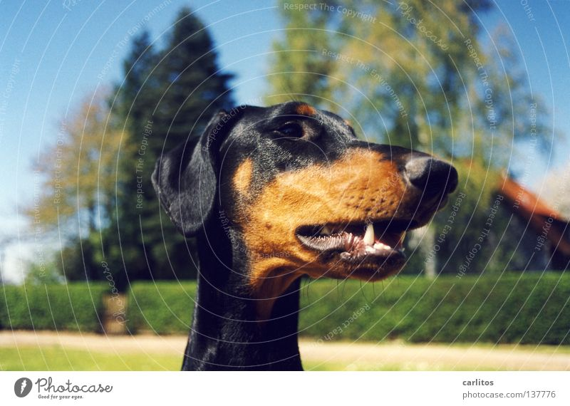 * amazed* the dachshund of grandma Meier gets thicker and thicker ! Doberman Dog Scent Posture Boast Mammal Safety Playing dober woman not a fighting dog