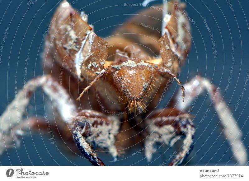 Blue White Animal Brown Wild animal Threat Dry Loud Crouch Larva Ear-piercing Cicada Hemipteron