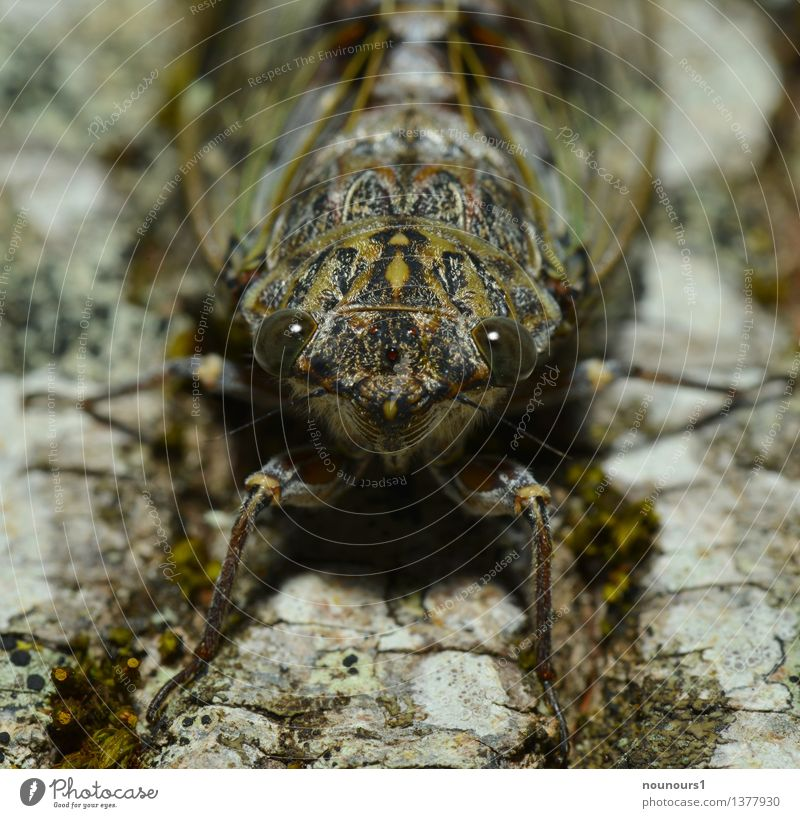 perfectly camouflaged Animal Wild animal Animal face singzicade 1 Crouch cicadidaetier cicadoidea cicadomorpha Song Bug Hexapod Insect Loud paired sounds