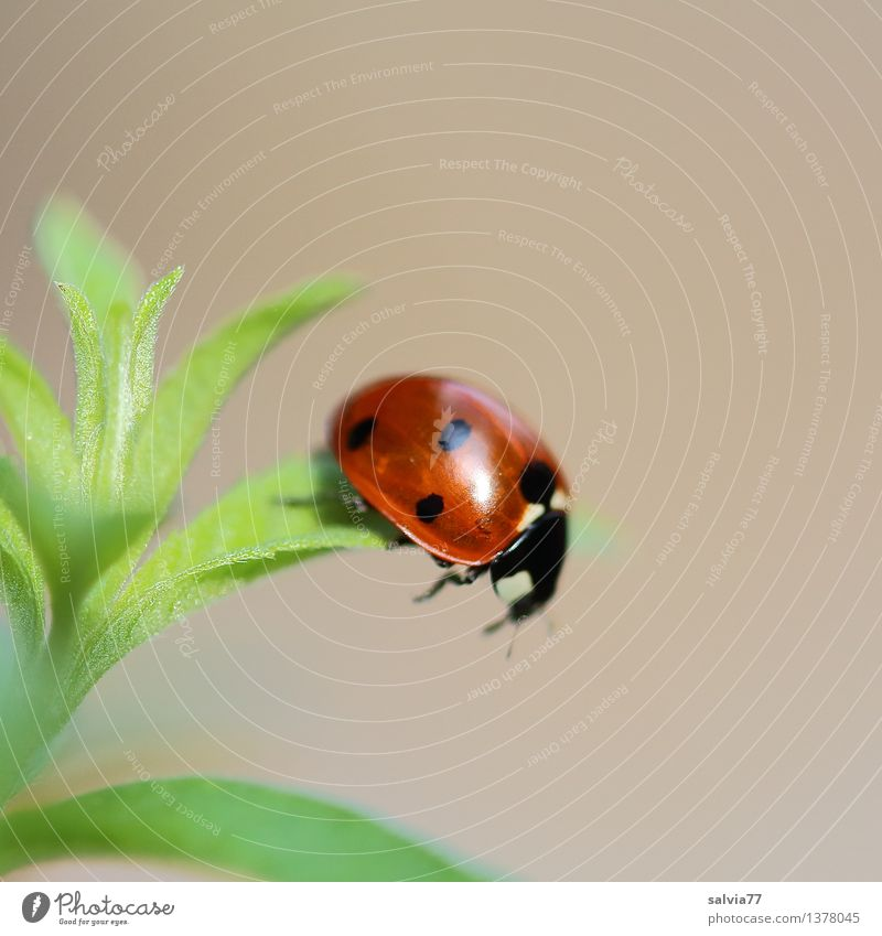 Step into emptiness Nature Plant Animal Spring Summer Leaf Foliage plant Wild animal Beetle Ladybird Seven-spot ladybird 1 To fall Crawl Illuminate Glittering