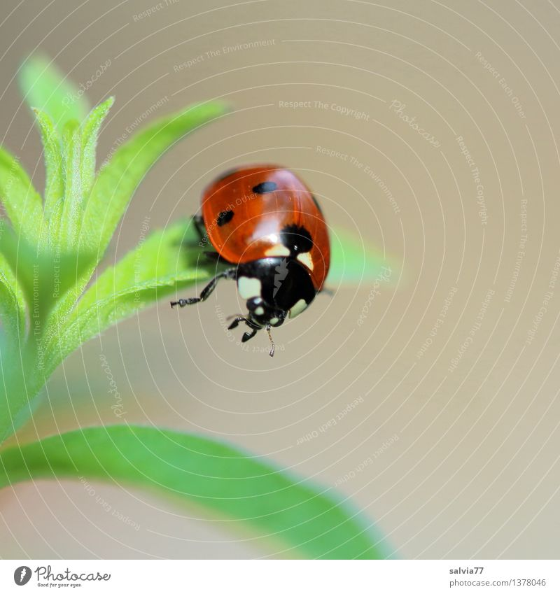 watershed Nature Plant Animal Spring Summer Leaf Foliage plant Beetle Animal face Wing Seven-spot ladybird Ladybird 1 To hold on Esthetic Free Friendliness
