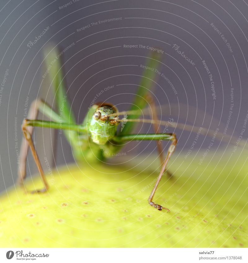 Cheeky Hopper Environment Nature Animal Animal face Insect Locust Long-horned grasshopper Feeler 1 Observe Sit Exotic Brash Yellow Gray Green Curiosity Disgust