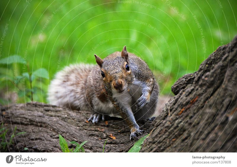 250 - You're looking?! Manhattan Americas Squirrel Rodent Animal Timidity Amazed Curiosity Tree Tree bark Meadow Park Hazelnut Spring Summer Seasons Autumn