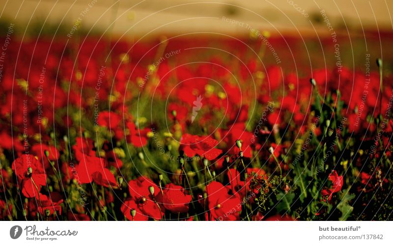 Beautiful Red Summer Field Agriculture Poppy Spain Poetic Poppy field