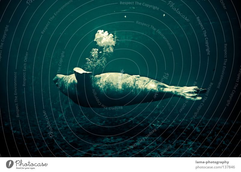 majestic Sea lion Seals Cape fur Seal Harbour seal Dive Glide Hover Whale Breathe Air bubble Ocean Body of water Bottom of the sea Relaxation To enjoy Dream