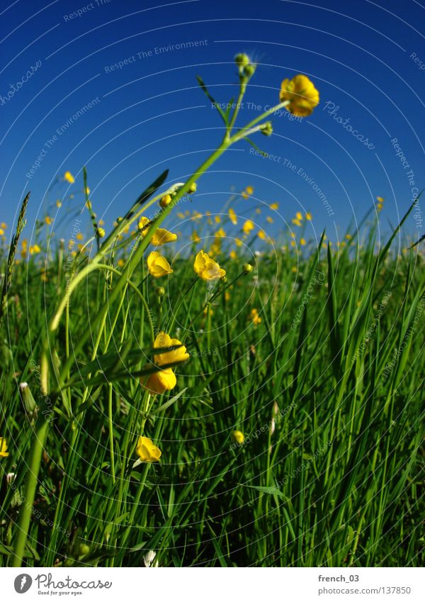 yellow flowers Sky Nature Blue Green Beautiful Plant Summer Flower Colour Loneliness Calm Relaxation Landscape Yellow Meadow Food