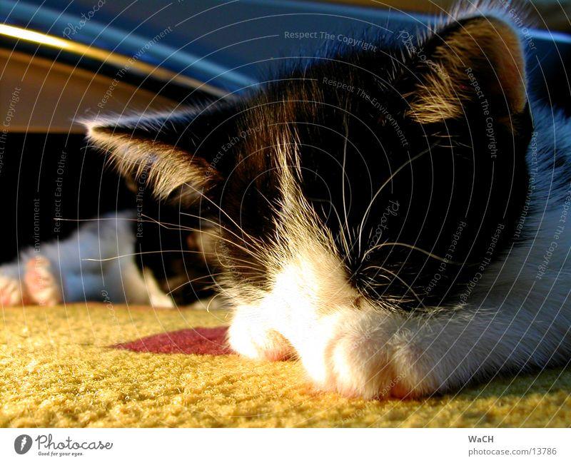 Cat Eyes Hair and hairstyles Lie Sleep Ear Pelt Pants Patch Pet Mammal Carpet Domestic cat Dappled Beard hair