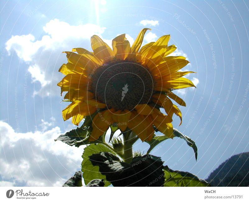 Sky Sun Flower Red Summer Leaf Clouds Yellow Spring Orange Bird Sunflower Sunflower seed