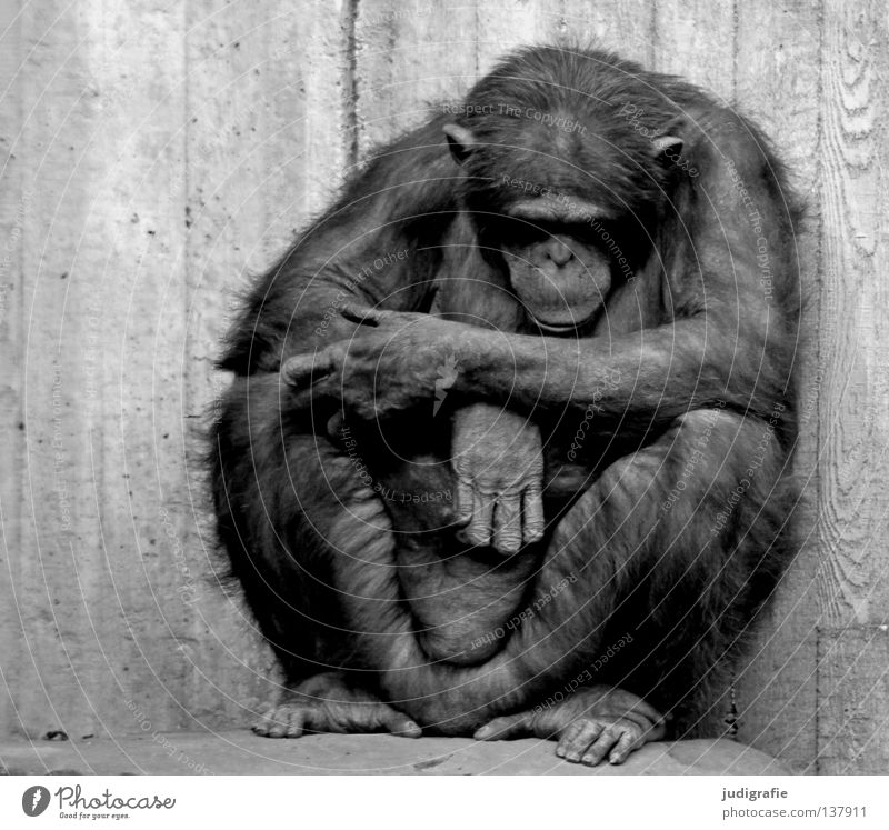 detention Black & white photo Exterior shot Day Animal portrait Front view Downward Hair and hairstyles Relaxation Calm Zoo 1 Concrete Sit Sadness White Grief